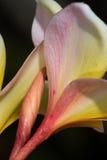 Pedais havaianos dos leus com orvalho do amanhecer foto de stock royalty free