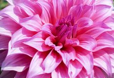 Pedal cor-de-rosa da flor da dália Foto de Stock Royalty Free