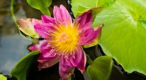 Pedal y hoja de Lotus Flower Pollen en la charca de agua foto de archivo