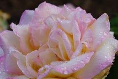 Pedales de la flor de Rose después de la ducha de lluvia Fotografía de archivo