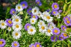 Pedane Daisy Violet Floral Portrait Stock Photo rosa di Dumosus dell'aster fotografia stock libera da diritti