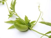 Pedata di Cyclanthera Immagini Stock