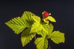 Pedatus del Rubus - zarza con hojas cinco en negro fotos de archivo libres de regalías