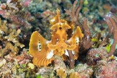 Peddel-klep Scorpionfish Royalty-vrije Stock Foto's