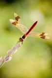 pedemontanum skrzyknący wężowy sympetrum fotografia royalty free