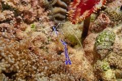 Pederson cleaner shrimp Ancylomenes pedersoni Stock Photos