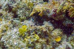 Pederson cleaner shrimp royalty free stock photo