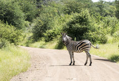 Pedestrian crossing with real zebra in south africa Royalty Free Stock Image