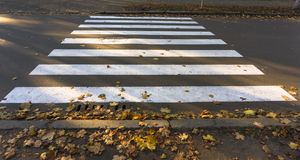 Pedestrian crossing or zebra traffic walk way with fallen yellow leaves royalty free stock image