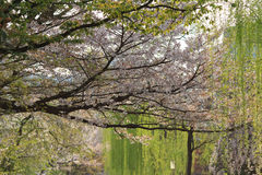 a pedestrian path that follows a cherry-tree-lined canal in Kyot Stock Photo