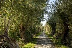 Pedestrian romantic pathway with rows of pollard willows, two sides of a lane with old pollarded willows. royalty free stock images