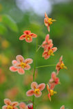 Pedicel with delicate orange blossoms Royalty Free Stock Images