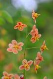 Pedicel med delikata orange blomningar Royaltyfria Bilder