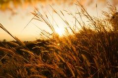 Pedicellatum del Pennisetum de la hierba de Desho en el tiempo de la puesta del sol GR hermoso Fotografía de archivo