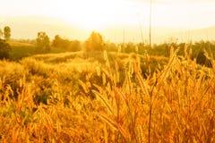 Pedicellatum del Pennisetum de la hierba de Desho en el tiempo de la puesta del sol GR hermoso Imagen de archivo