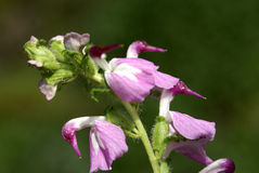 Pedicularis bifida. Earlier known as P. carnosa, beautiful herb from Himalayas with entire leaves and pink flowers with white tube and dark pink curved beak royalty free stock image
