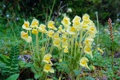 Pedicularis cranolopha Stock Photo