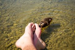 Pedicure by duck babies. Ducks nibble on my toes. At the See Royalty Free Stock Images