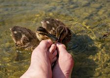 Pedicure by duck babies. Ducks nibble on my toes. At the See Stock Photography