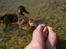 Pedicure by duck babies. Ducks nibble on my toes. At the See Stock Images
