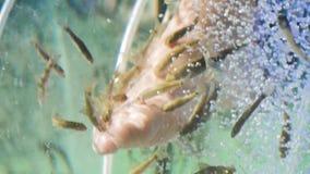 Pedicure fish spa Επεξεργασία Rufa garra fish spa Κλείστε επάνω των ψαριών και των ποδιών στο μπλε ύδωρ Pedicure και επεξεργασία  φιλμ μικρού μήκους