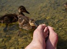 Pedicure por bebês do pato Mordidela dos patos em meus dedos do pé Imagens de Stock