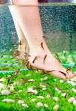 Pedicure spa treatment, rufa garra fish Royalty Free Stock Images