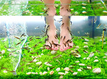 Pedicure spa treatment, rufa garra fish Stock Photos