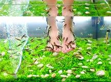 Pedicure spa treatment, rufa garra fish Stock Photos