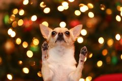 Pedido da chihuahua Fotografia de Stock