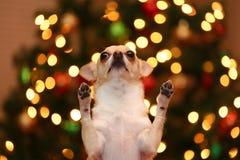 Pedido da chihuahua Foto de Stock Royalty Free