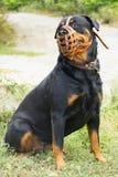 Pedigrí del rottweiler del bozal Foto de archivo libre de regalías