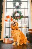 A pedigree adult golden retriever,labrador sits in full growth on the background of a window decorated with New Year`s Stock Image