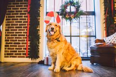 A pedigree adult golden retriever,labrador sits in full growth on the background of a window decorated with New Year`s and Christ stock image