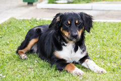 Pedigree animale dell'animale domestico del cane divertente Fotografia Stock Libera da Diritti