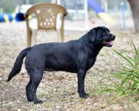 Black Labrador Retriever Out For a Romp in the Yard. Pedigree Black Labrador Retriever getting some exercise in the yard. Gorgeous color and lines Stock Photos