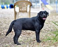 Black Labrador Retriever Out For a Romp in the Yard. Pedigree Black Labrador Retriever getting some exercise in the yard. Gorgeous color and lines Stock Image