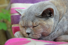 Pedigree british shorthair cat Royalty Free Stock Image