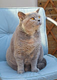 Pedigree british shorthair cat Stock Photos