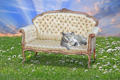 Pedigree british shorthair cat on regency chaise. Photo of a pedigree british shorthair cat resting on a regency rococo chaise longue on grass background with stock image