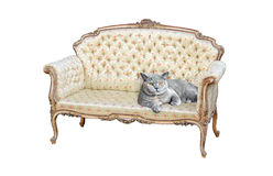 Pedigree british shorthair cat on regency chaise. Photo of a pedigree british shorthair cat resting on a regency rococo chaise longue on white background stock photography