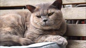 Pedigree british shorthair cat stock video footage