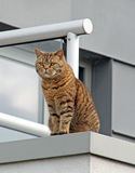 Pedigree british shorthair spotted tabby cat Stock Image