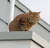 Pedigree british shorthair spotted tabby cat Royalty Free Stock Photo