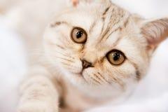 Pedigree cat Royalty Free Stock Photography