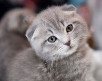 Pedigree cat Royalty Free Stock Photo