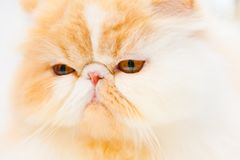 Pedigree cat Royalty Free Stock Images