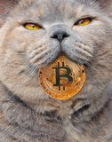 Pedigree cat with bitcoin in mouth. Concept photo of gold bitcoin cryptocurrency coin in her mouth with smiling content eyes stock photos