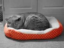 Pedigree cat blissful sleep in cosy basket. Photo of a pedigree british shorthair cat enjoying a blissful sleep in her favourite cosy basket bed during winter Stock Image