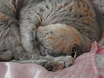 Pedigree cat blissful sleep. Photo of a pedigree british shorthair cat enjoying a blissful sleep on her favourite bed taken jan 2018 Royalty Free Stock Photo